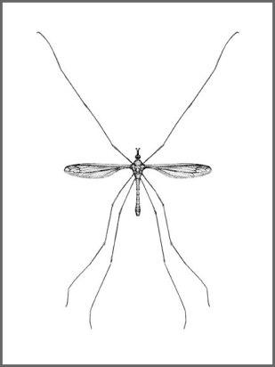 cranefly01