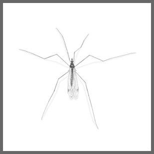 cranefly02