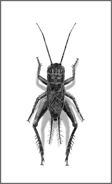 fieldcricket