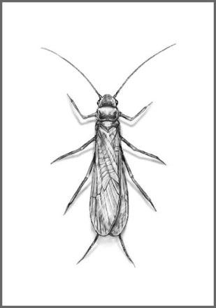 stonefly01