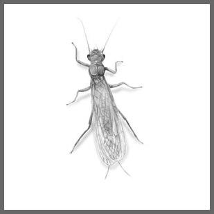 stonefly02