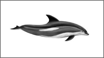 whitesidedolphin