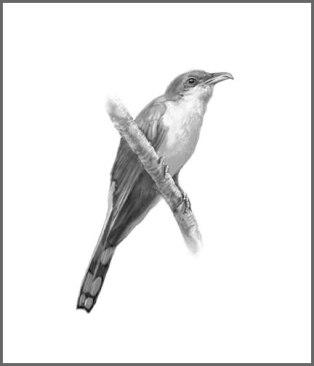 yellowcuckoo